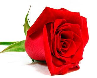 جوري valentine_flowers11.jpg